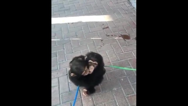 Baby Chimps After A Week Apart - Cute Videos
