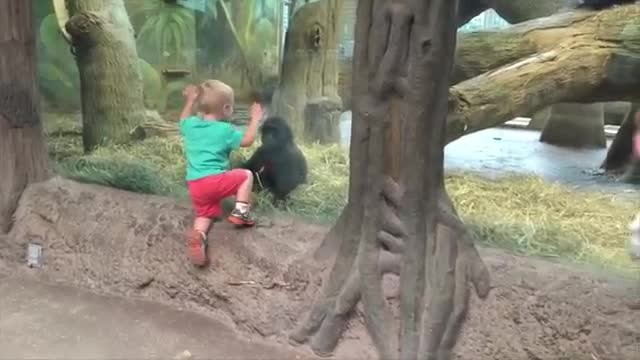 Toddler Approaches Baby Gorilla, Gets A Bit Too Close And Has Parents Dying Of Laughter