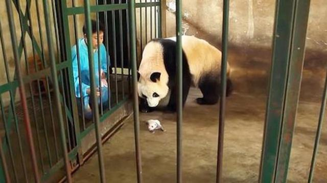 Panda mom doesn't realize she's given birth to twins so zookeeper hatches ingenious plan