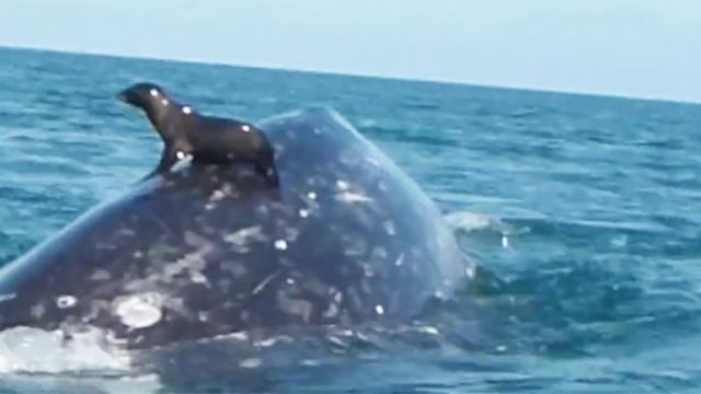 A seal riding on top of a whale is incredibly rare but there's more to this exclusive relationship