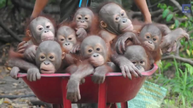 Orphaned Orangutan Babies Transported In Wheelbarrow After Being Rescued From Captivity