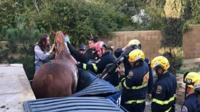 Horse found stuck in dumpster, firefighters use forklift & harness to get it out