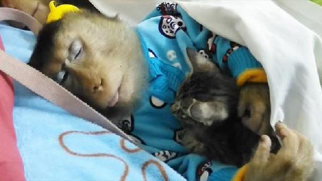 A monkey found a stray kitten and adopted him as her own. Seeing them together will make you melt!
