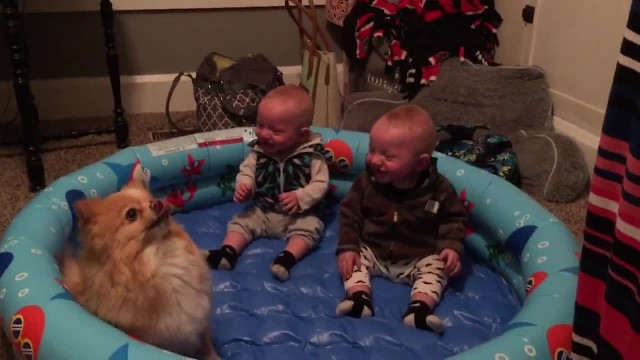 Adorable Pomeranian frantically jumps around, sends twin boys into a hysterical giggle fit