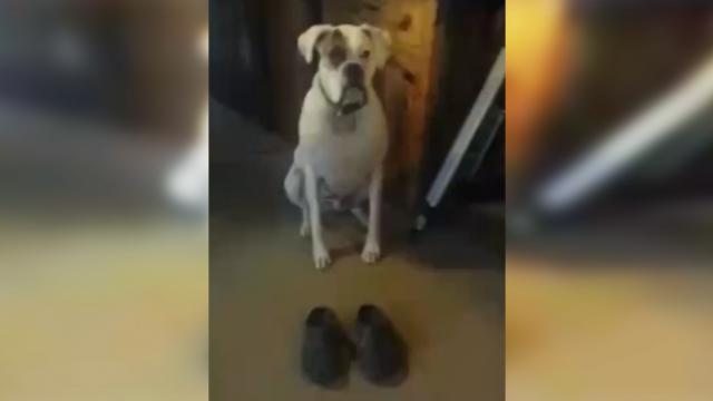 Human puts shoes on the floor in front of this pup. The dog proceeds to do a hysterical shuffle