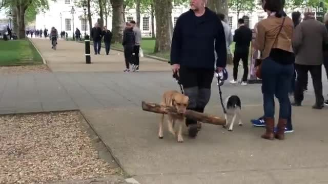 Dog finds massive branch in the park, determined to bring it home