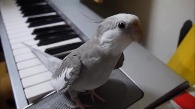 Small bird sits at the edge of a keyboard, but when dad starts to play this tune? Incredible!
