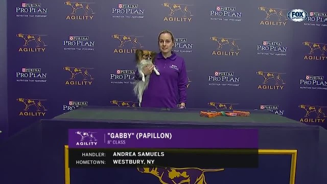 Little dog blows crowd away at Westminster with record speed in agility
