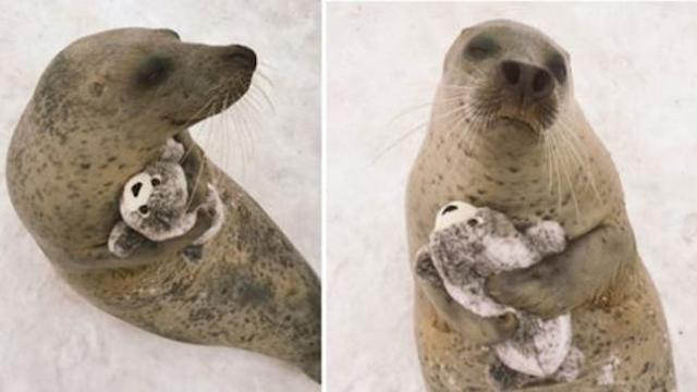 Seal with no ears gets toy that looks just like him, and he can't stop hugging it
