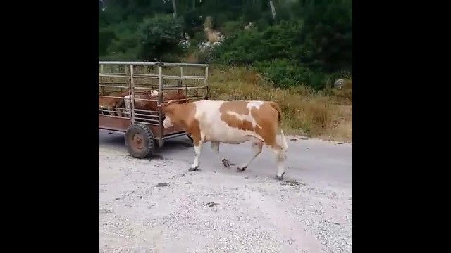 Heartbroken Mother Follows Baby Calf As He Is Loaded In Van, Taken Away For Slaughter