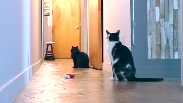 Cat owner filmed his cat while he's away, watch until the end to see the best part!