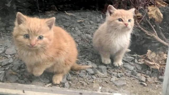Two kittens found wandering into workplace together, won't leave each other's side