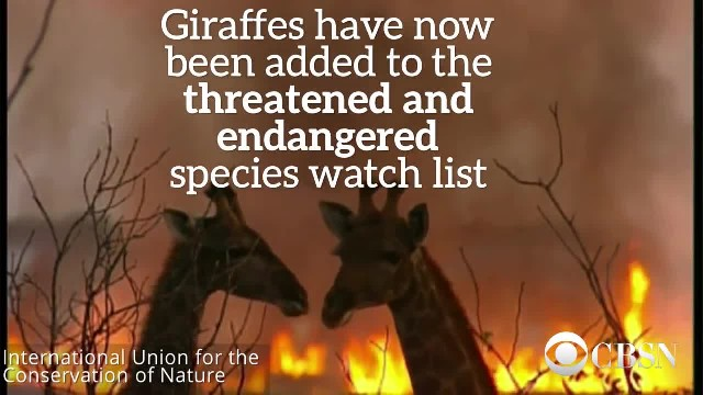 Giraffes Are Now Critically Endangered
