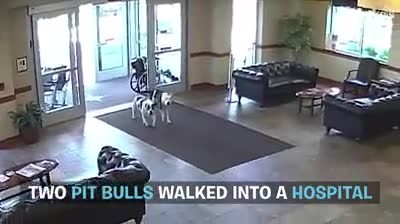 Everyone was caught off guard when two pit bulls wandered into the hospital...No way!