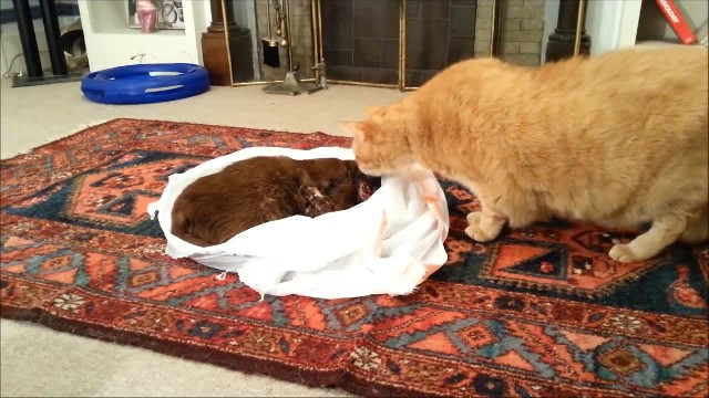 """Cat lost his friend to cancer, so his owners let him say """"goodbye"""". His next move is breaking everyo"""