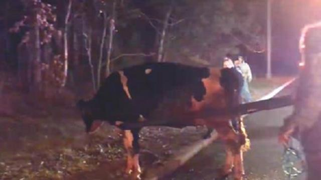 Cow escapes truck on way to slaughterhouse making headlines when rescuer learns secret she's been ke