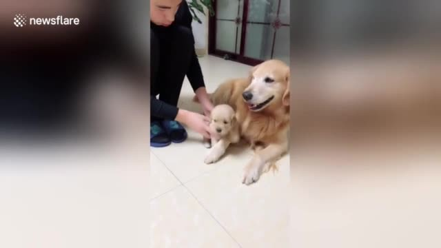 Protective Golden Retriever prevents puppy from being scolded by owner