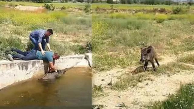 Wild boars stuck in irrigation canal until brave men came to their rescue