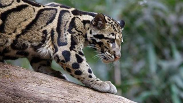 Rare Leopard thought 'Extinct' spotted in Taiwan's wilderness after 36 years