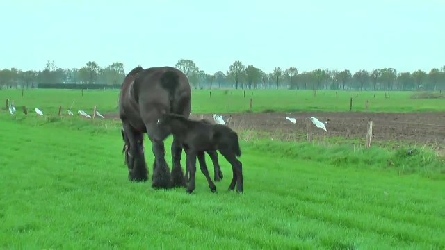 Horse Gives Birth To Rare Twins, Days Later, The Captured Footage is Taking Everyone's Breath Away.