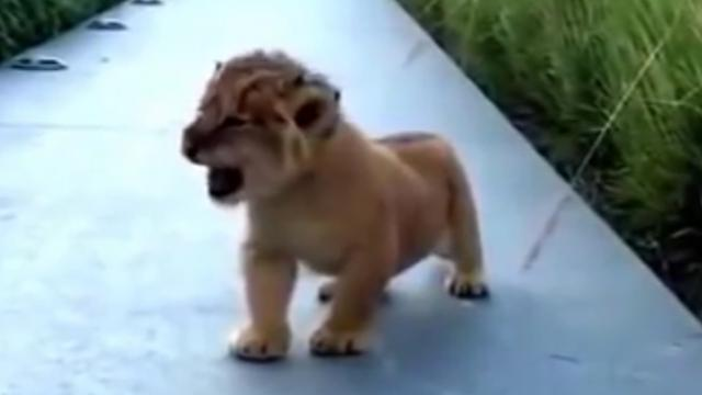 Baby lions attempts first roar ever, what comes out instead has us dying from laughter