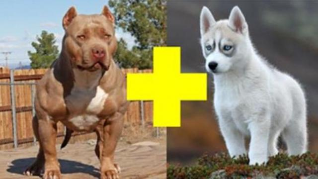 A husky got pregnant with a pit bull. Their puppies are cute beyond imagination