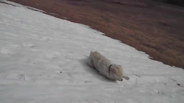 Sheep Dog Tries To Walk Down Icy Hill, When He Starts To Slide, Owner Quickly Grabs Camera