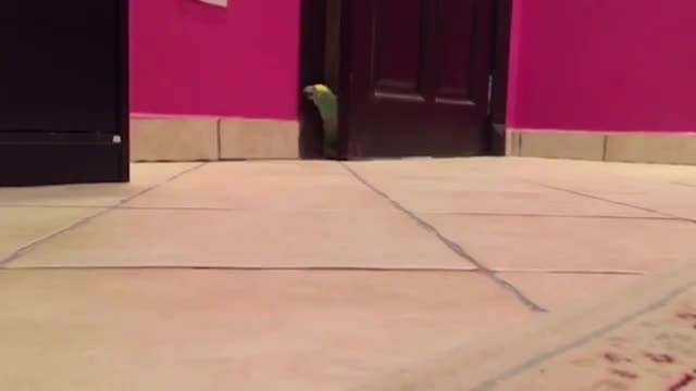 Parrot sneaks through door, but his 'evil genius' impression is so good it's being shared by million