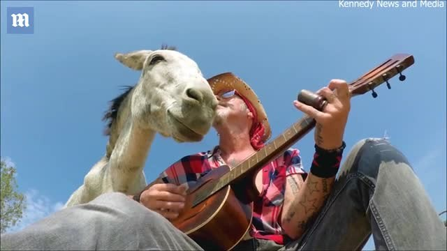 Music-loving donkey snuggles up to musician as he plays the guitar