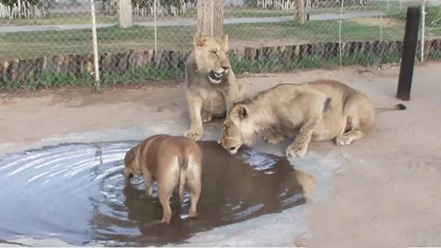 This brave dog is best friends with two massive lions! See how sweet their friendship is!