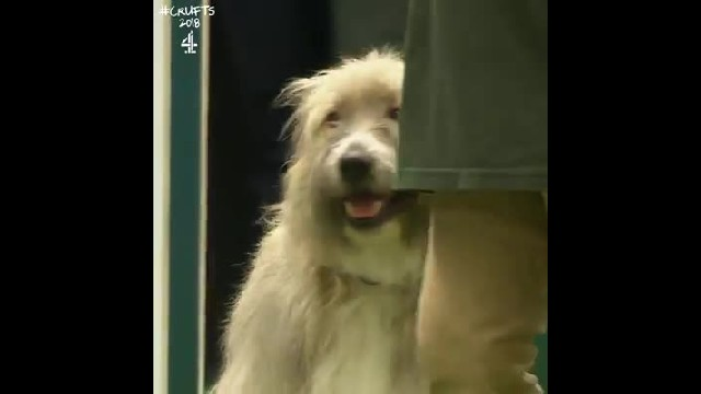 Rescue dog hilariously fails agility course but makes everyone smile