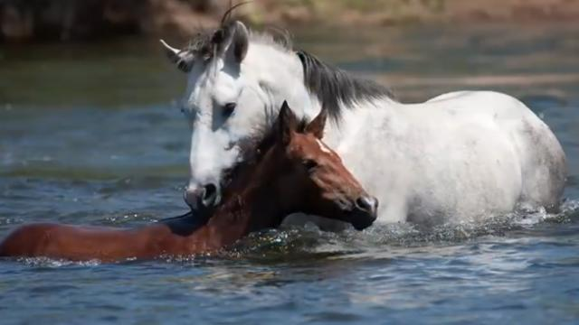 A wild stallion knows exactly what to do when his baby horse begins to drown