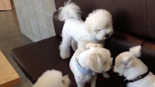 Responsible older brother breaks up a playful puppy fight