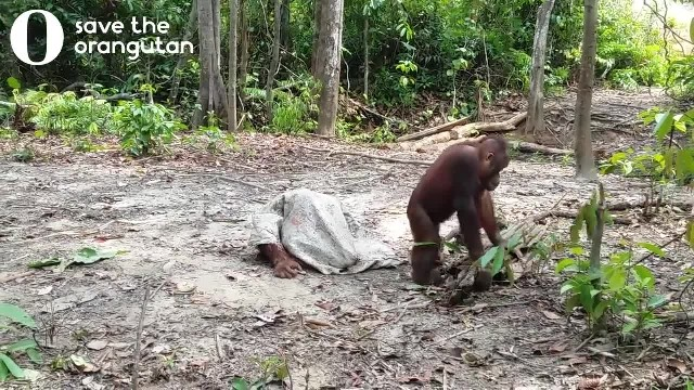 Orangutan puts cloth over his head. Captured footage of him approaching friend goes viral