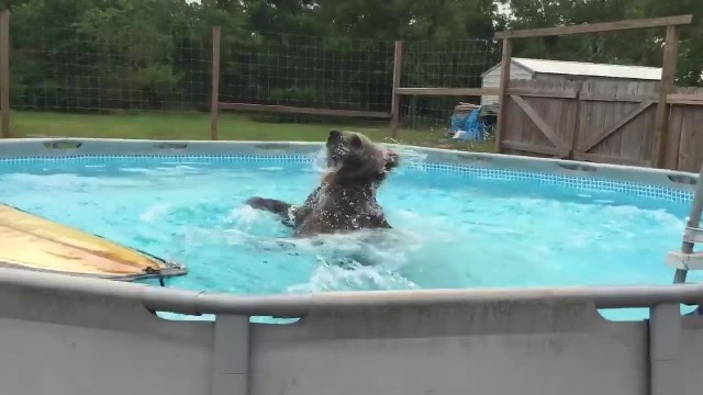 Grizzly bear belly flops into pool, then turns around and gives camera huge smile