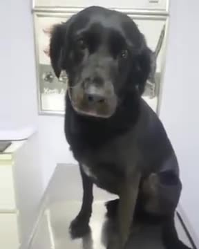 Dog gets a shot without any fussing, her stoic pose makes her a viral hero