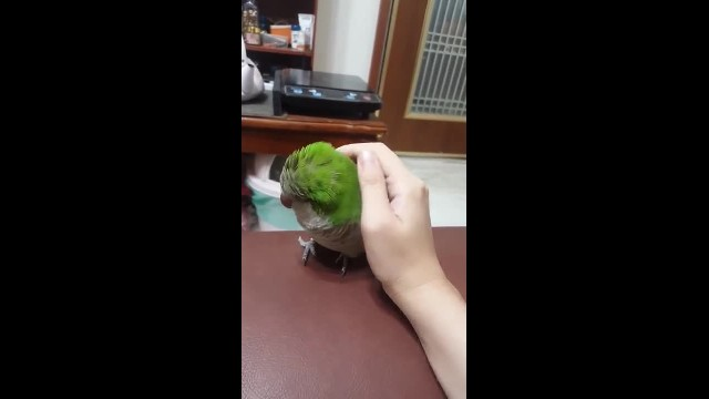 Aww! Cute and smart parakeet finds a way to get what it loves most
