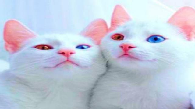 Abyss and Iriss: The world's most beautiful twin cats