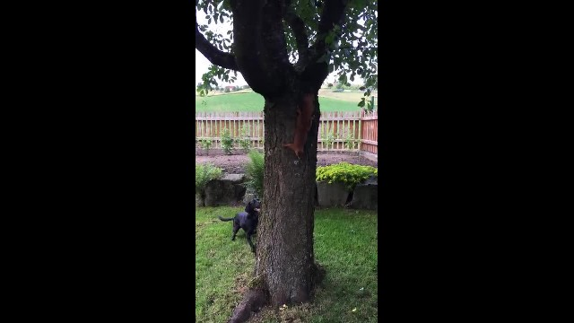 Dog Attempts To Catch Squirrel, But He's No Match For The Tiny Mastermind
