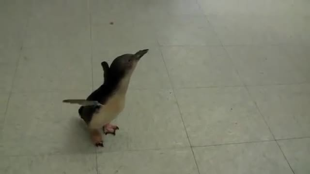 Tiny penguin looks for his caregiver. When he finds him, his reaction is pure joy