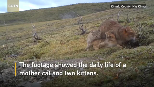 """ Rare Chinese mountain cats captured on video for the first time"""