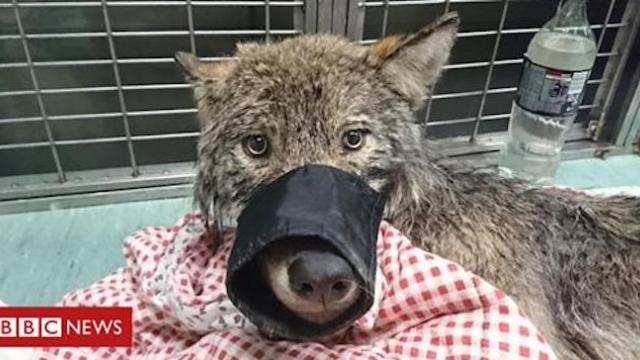 Men rescue 'dog' from ice, find wolf