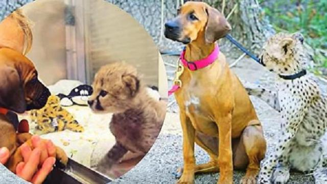 Unusual yet heartwarming! Dog and cheetah stay best of friends after three years of friendship