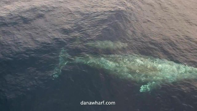 First baby gray whales spotted with moms off Orange County waters