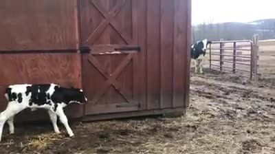 Pregnant cow escapes truck 10 minutes before it reaches slaughterhouse and runs to freedom