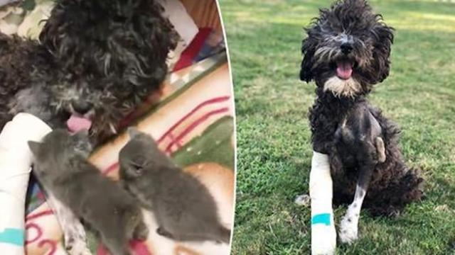 Dog injured in car crash bonds with a litter of kittens and mothers them as her own