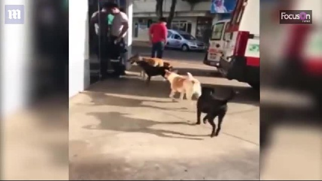 Six loyal dogs chase ambulance for miles, wait outside hospital 24 hours for homeless owner