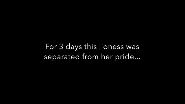 Lioness Reunites With Her Pride After Being Separated For Days