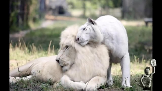 White lion and white tiger had babies together and they're the most adorable things on Earth