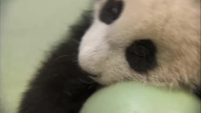 Caretakers try take this baby panda's favorite ball, he throws the most adorable tantrum
